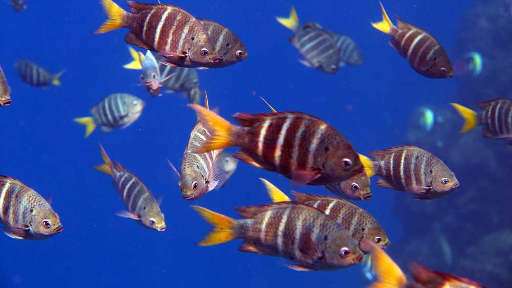school of major fish