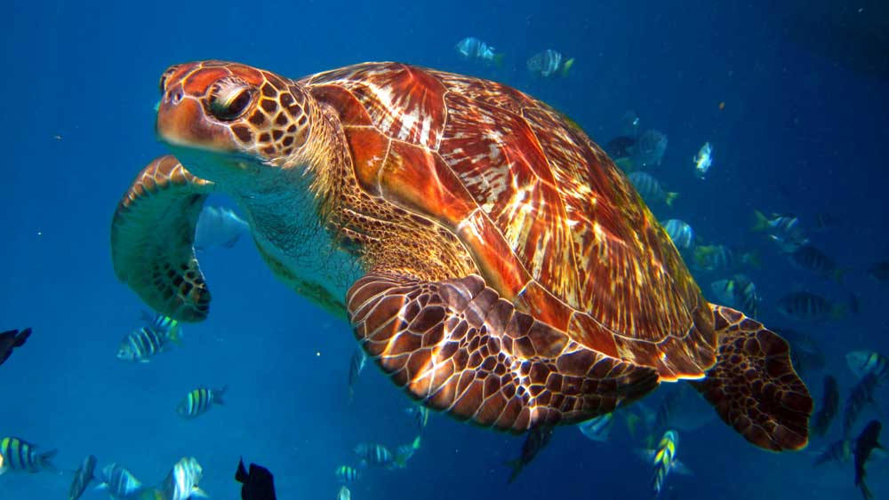 Snorkelling with a turtle