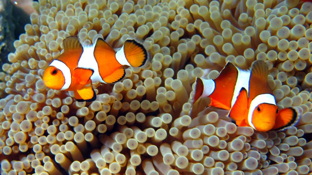 Anemone clownfish at the Surin Islands