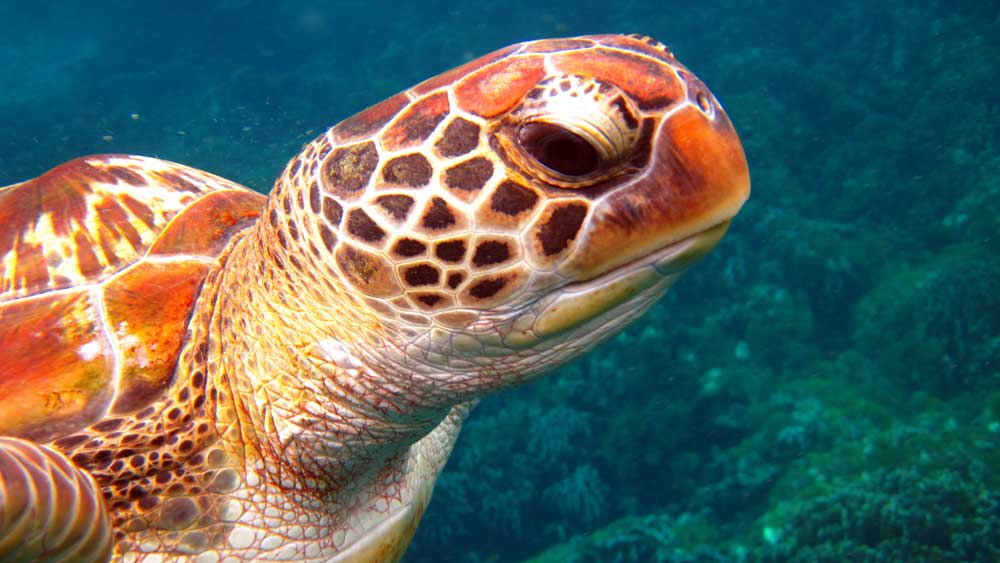Turtle at the Surin Islands