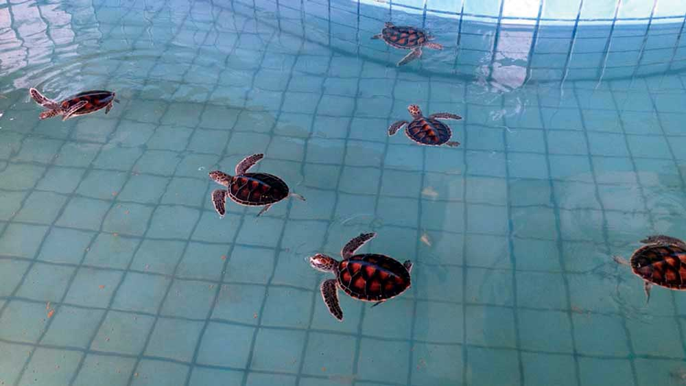 Turtle hatchlings at the Turtle Sanctuary