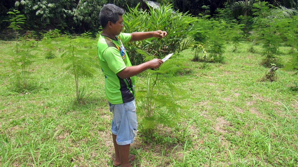 Cutting herbs for jungle cooking