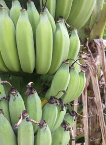 Green bananas enroute to chongfa