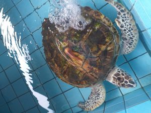 Injured sea turtle in the conservation centre