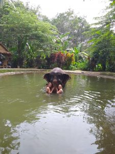 Elephant Bathing in Khao Lak