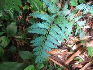 magic fern in the jungle khao sok